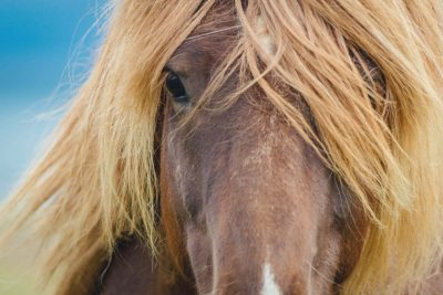 Icelandic horse eyes and hair. Portraiture of an icelandic horse. Wildlife, animals, wild horse, icelandic, iceland.